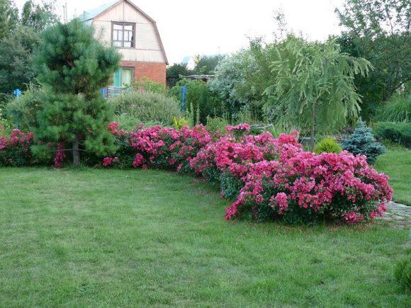 Розовая спирея на садовой рабатке