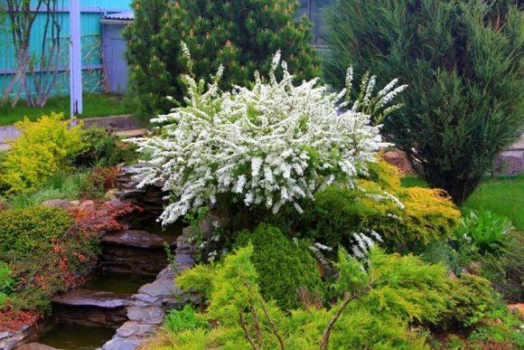 Цветущая спирея на альпинарии