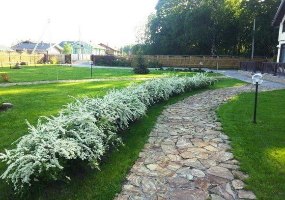 Цветущий бордюр садовой дорожки из кустов спиреи