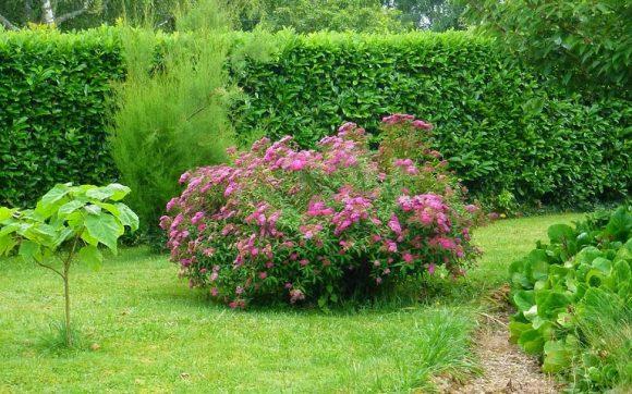 Цветущий куст у ограды из подстриженной спиреи