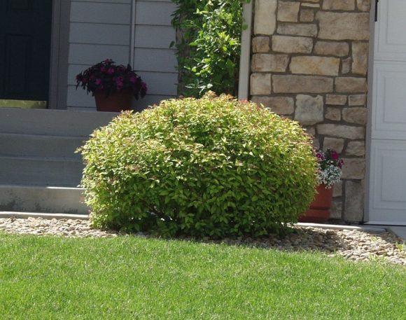 Аккуратный куст спиреи у входа в загородный дом