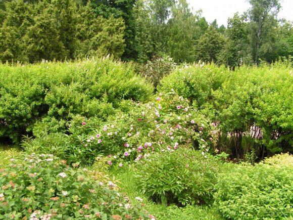 Поляна в саду пейзажного дизайна, заросшая спиреей