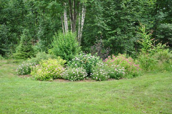 Спирея под берёзой в саду природного дизайна
