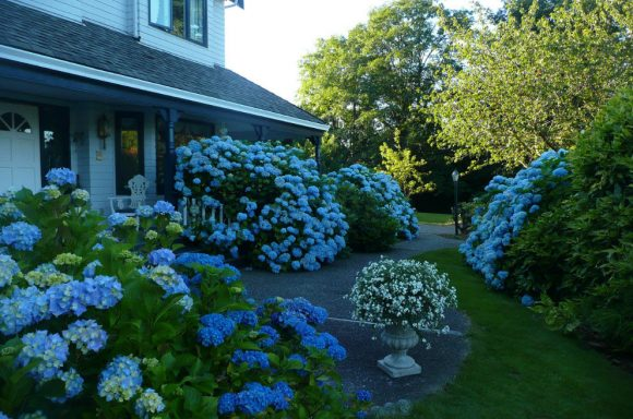 Голубая гортензия у загородного дома