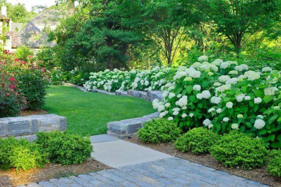 Кусты гортензии вокруг садовой дорожки