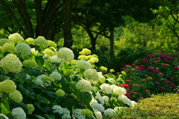 Белая гортензия в тенистом саду