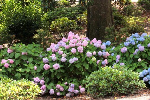 Яркая гортензия в саду природного дизайна