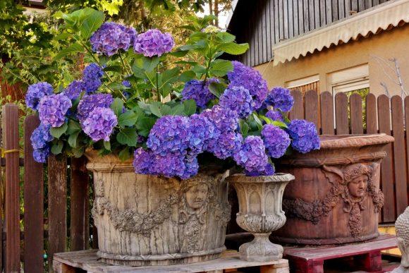 Фиолетовая гортензия в красивом вазоне