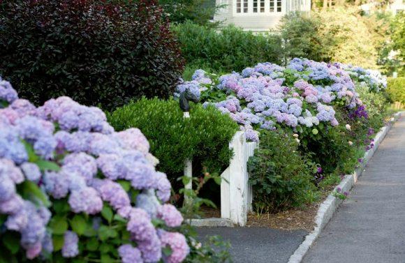 Гортензия на садовом бордюре