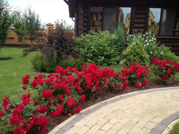 Эффектный бордюр из розовых кустов