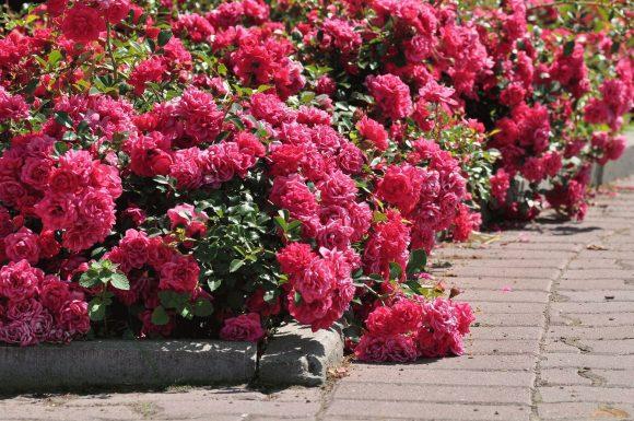 Цветочный бордюр из стелющихся роз