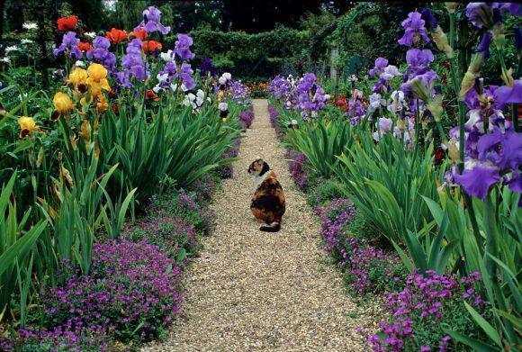 Живописный бордюр садовой дорожки из ирисов