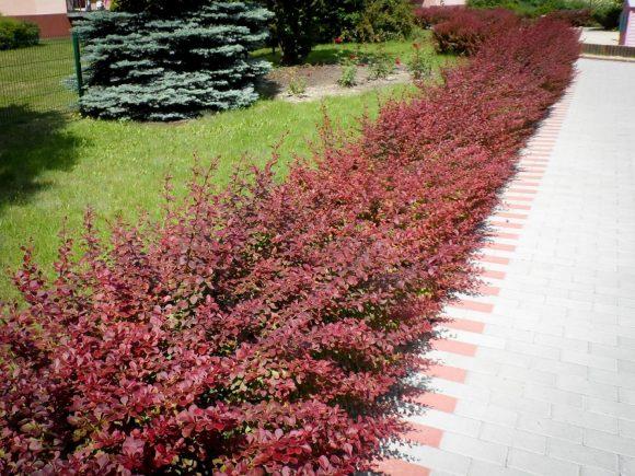 Забор садовой дорожки из барбариса
