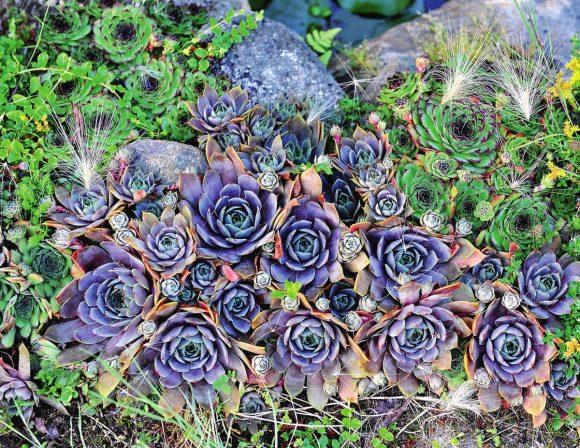 Композиция из голубой каменной розы на альпинарии
