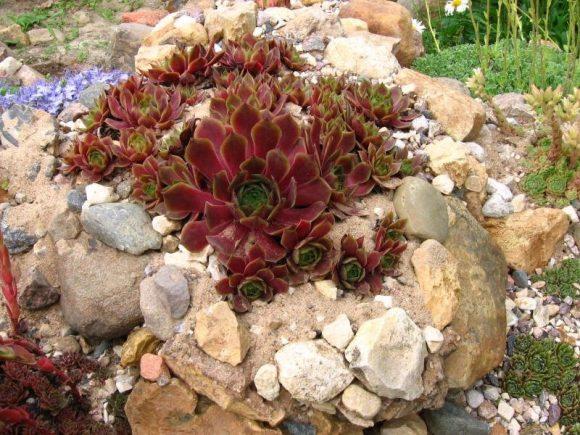 Бордовая каменная роза на альпийской горке