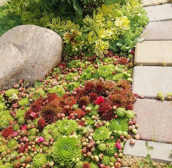 Яркая каменная роза у подпорной стены