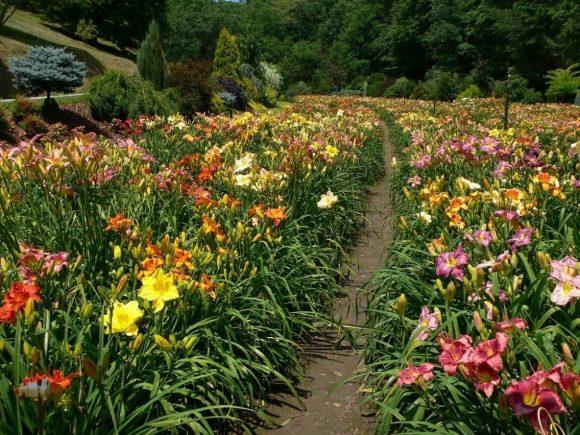 Цветник из лилейников в саду