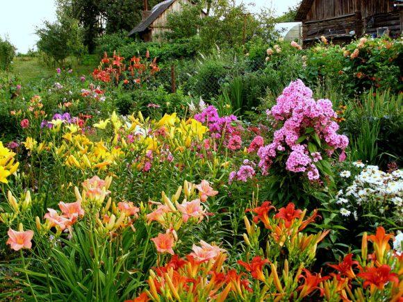 Лилейник и флоксы на садовой клумбе