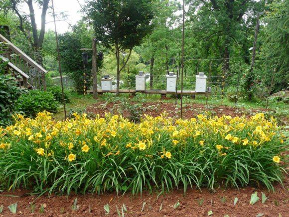 Рабатка из лилейника у огородной зоны на даче