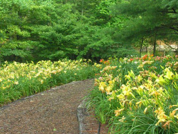 Лилейник в саду пейзажного дизайна