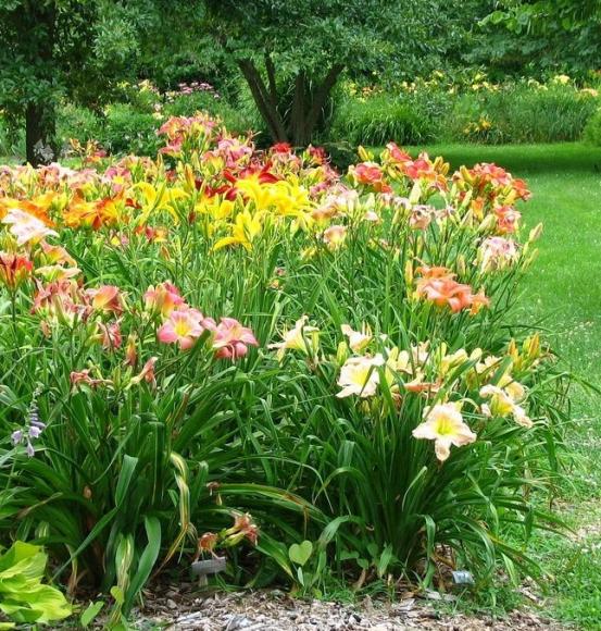 Разноцветные лилейники на солнечной поляне