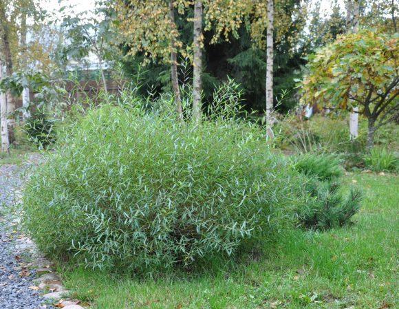 Шаровидная ива и берёзы в саду природного дизайна