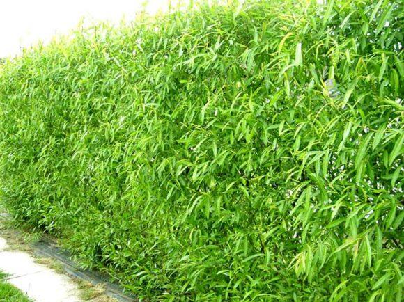 Живая изгородь из кустов ивы