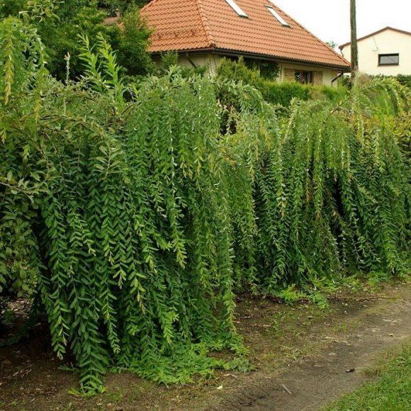 Зелёная ограда из ивовых деревьев