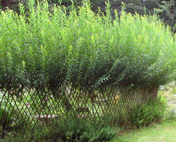Зелёная изгородь между зонами участка