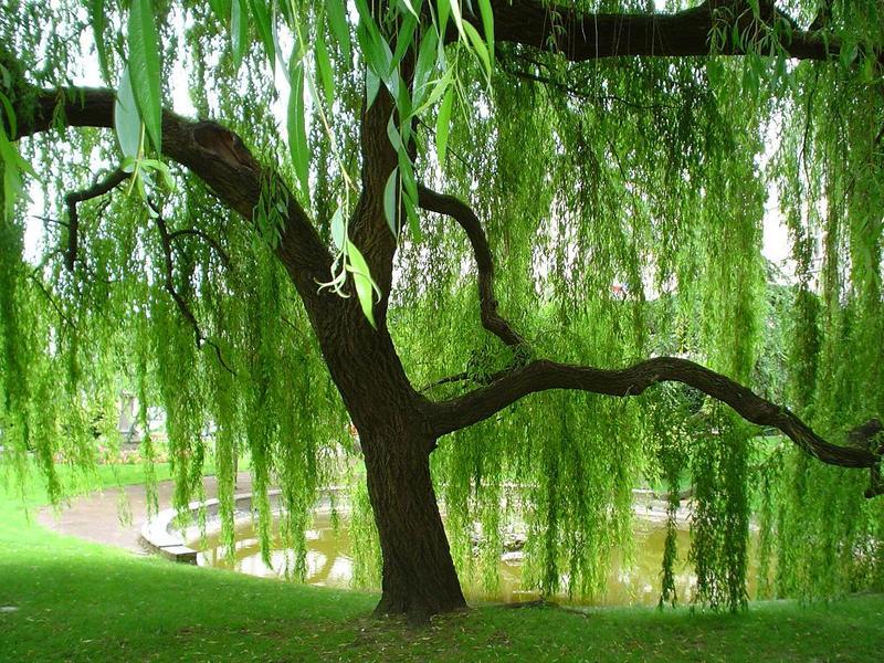 Кудесница природного сада: 42 идеи использования ивы в ландшафтном дизайне