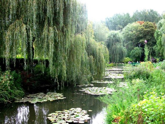 Плакучие ивы на берегу природного ручья