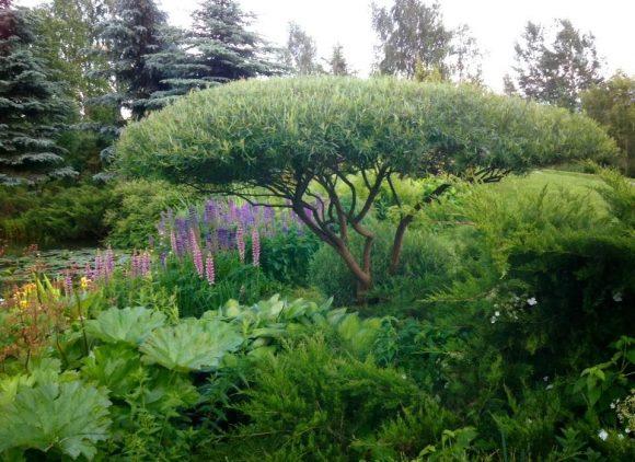 Садовый бонсай из ивовых деревьев