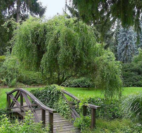 Ива в саду пейзажного дизайна