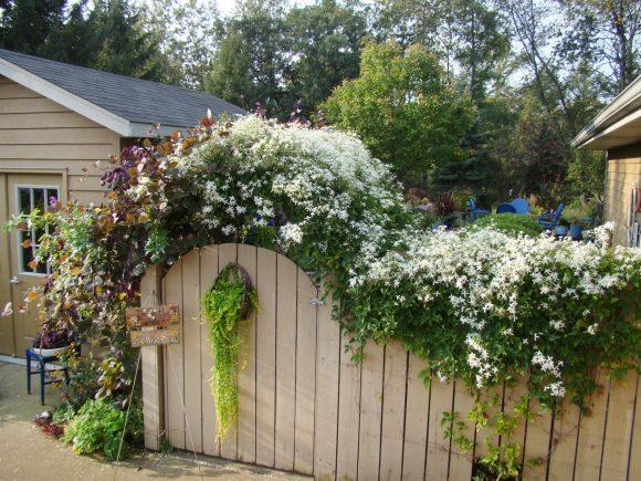 Забор, оформленный клематисом