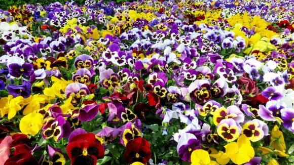 Анютины глазки на цветущем газоне
