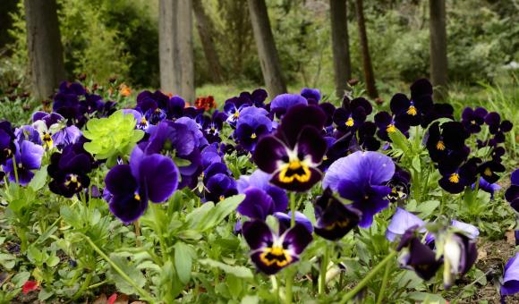Газон из анютиных глазок в саду пейзажного дизайна