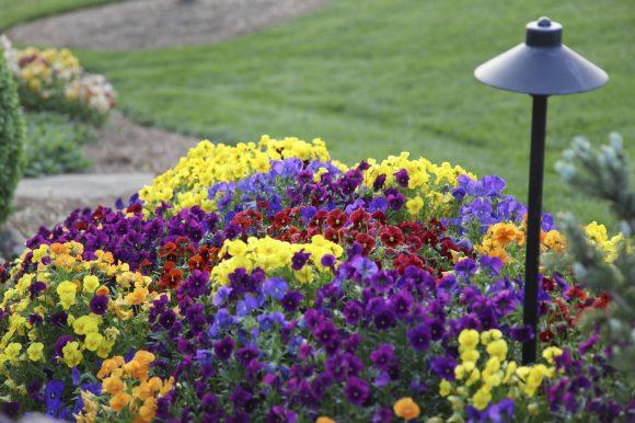 Эффектная клумба из разноцветной виолы на даче