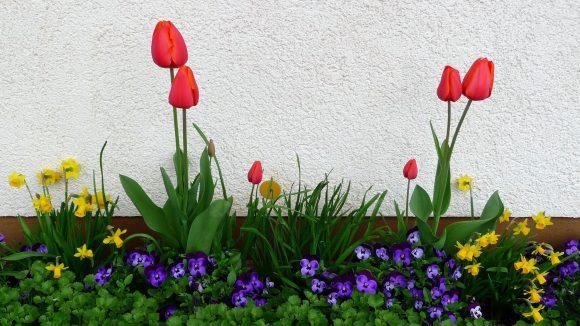 Анютины глазки, тюльпаны и нарциссы на клумбе