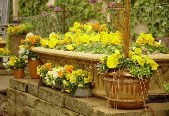 Контейнерная клумба из жёлтой виолы на садовом участке