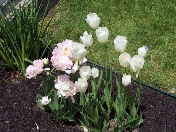 Клумба из пиона и тюльпанов