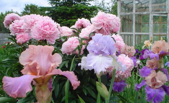 Ирисы и пионы на садовой клумбе