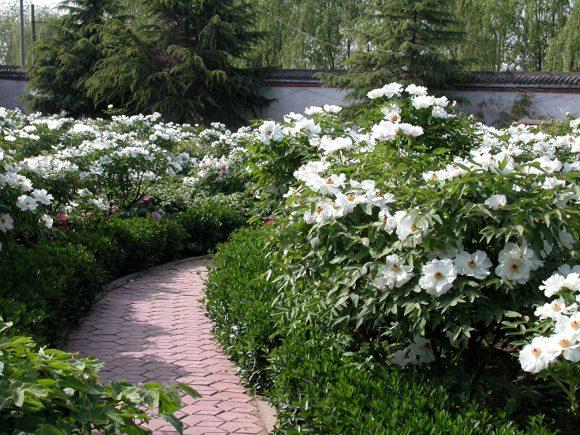 Заросли пионов вокруг садовой дорожки