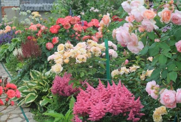 Пионы, астильба и розы на садовой клумбе