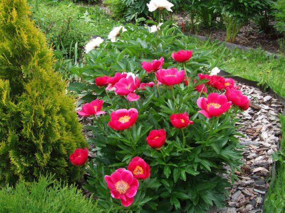 Пионы и туя на садовой клумбе