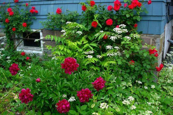 Пионы и плетистые розы в палисаднике
