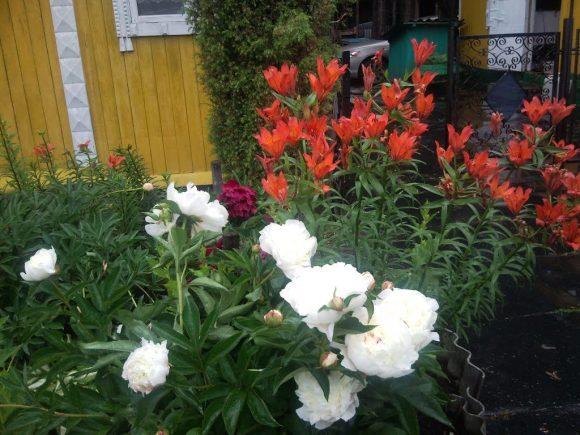 Пионы и лилии в палисаднике