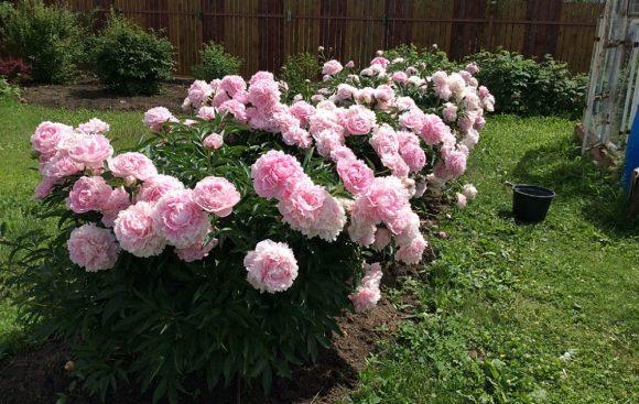 Садовая рабатка из розовых пионов