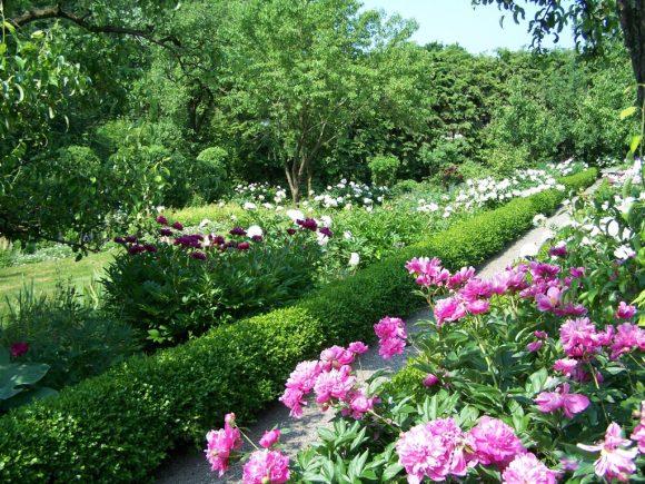 Пионы в саду природного дизайна