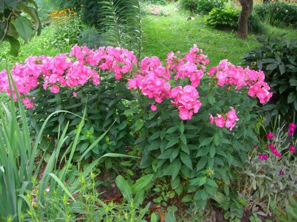 Монохромная клумба из розовых флоксов