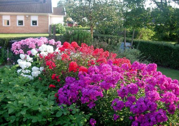 Садовая рабатка из разноцветных флоксов